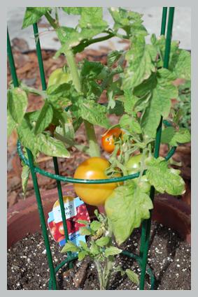 tomatotall.jpg