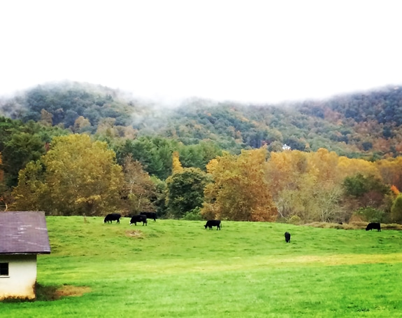 Cows in a field via BalancingMotherhood.com